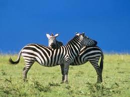 95 best zebra images on pinterest zebras animals and wild animals