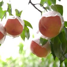 japan fruits information on fruit and fruit picking activities