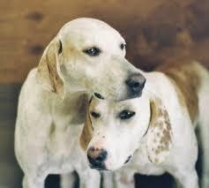 bluetick coonhound climbing tree long ears blog coonhound u0026 foxhound companions