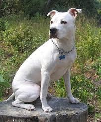 american pit bull terrier registry american pit bull terrier puppies breeders pit bull terriers