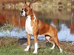 2 types of boxer dogs boxer dogs muscle supplements and exercise