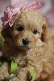 doodle doo labradoodles best 25 australian labradoodle puppies ideas on