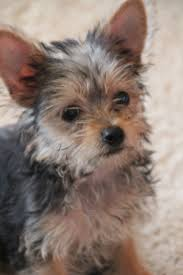 chorkie haircut styles i just want my small doggie chorkie doggies 3 pinterest
