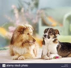 australian shepherd husky animal friendship two hybrid dogs husky shepherd dog and