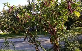 plants native to maryland pretty poisonous potherb poke u2013 maryland wild plants u2013 medium