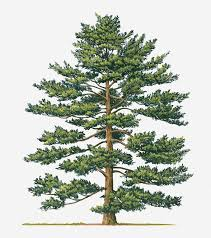 white pine tree illustration of pinus parviflora japanese white pine evergreen