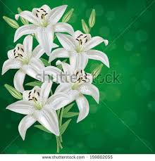 White Lily Flower White Lily Stock Images Royalty Free Images U0026 Vectors Shutterstock