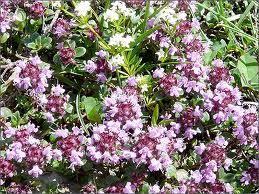 thym serpolet cuisine thym conseil jardinage application en phytothérapie et recette de