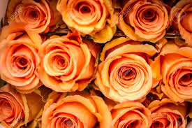 orange roses rows of pale orange roses stock photo picture and royalty free