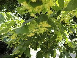 linden flower harvesting linden blossoms jim drohman