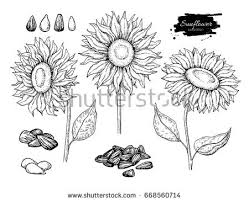 sunflower seed stock images royalty free images u0026 vectors