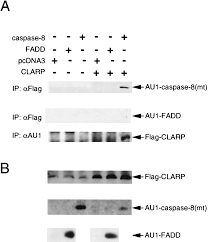 Anti Flag Antibody Clarp A Death Effector Domain Containing Protein Interacts With