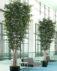 10 deluxe ficus silk tree for large spaces at officescapesdirect