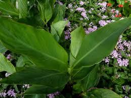 canna lily jpg