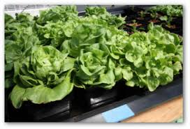 growing lettuce indoors in a container garden