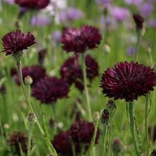 Bachelor Buttons Bachelor Button Seeds Almost Black