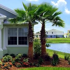 mexican fan palm growth rate washington palm tree for sale fast growing trees com