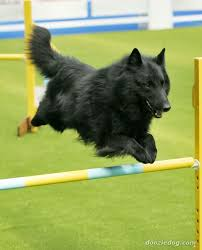 belgian shepherd breeds 319 best noble groenendaels images on pinterest belgian shepherd
