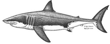 biosketch of the white shark