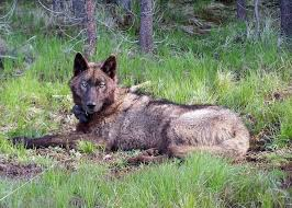 California wildlife images Wolves get a grudging welcome from northern california ranchers jpg