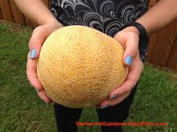 growing cantaloupe the fervent gardener