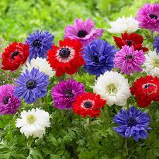 anemone flowers zyverden wind flowers bulbs anemones st brigid mixed set of