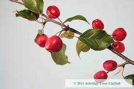 malus rudolph crabapple trees ashridge nurseries