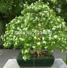 Fragrant Night Blooming Plants - aliexpress com buy flower seeds bonsai night blooming jasmine