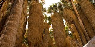 palm reader halloween background borrego palm canyon visit california