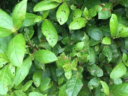 Umbrella Plant Diseases - help my plants leaves are covered in tiny holes gardening