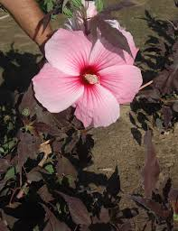 researchers take hibiscus efforts to commercialization agrilife
