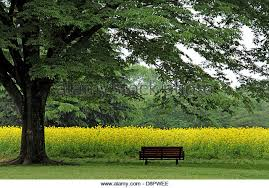 Field Bench Shade Tree Bench Garden Stock Photos U0026 Shade Tree Bench Garden
