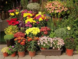 potted flowers an outdoor flower shop displays a variety of potted flowers and