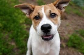 australian shepherd san diego view ad sheprador dog for adoption california san diego usa
