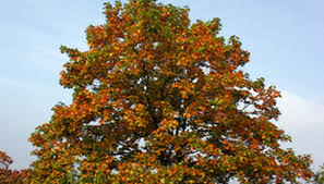 characteristics of maple trees garden guides