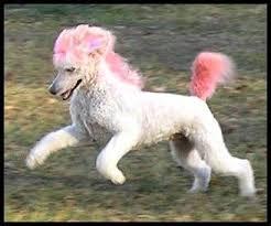 standard poodle hair styles unique hair cuts poodle forum standard poodle toy poodle