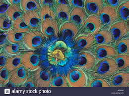 peacock feather fan peacock feather fan in india stock photo 1876548 alamy