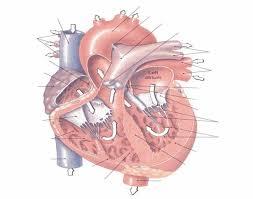 Human Ear Anatomy Quiz Heart Anatomy Quiz