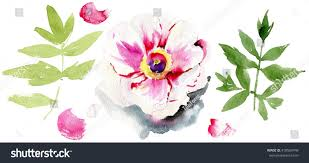 Peony Flowers Watercolor Illustration Peony Flowers Watercolor Flowers Stock