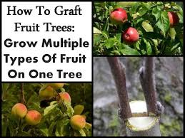 Best Fruit Trees For North Carolina - 35 best grafting fruit trees images on pinterest grafting fruit