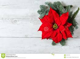 poinsettia stock photos images u0026 pictures 6 171 images
