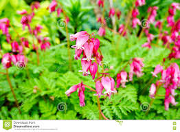 Bleeding Hearts Flowers Wild Bleeding Heart Flower Dicentra Eximia Stock Photo Image