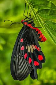 145 best butterflies and moths images on pinterest beautiful