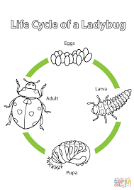 life cycle of a ladybug coloring page free printable coloring pages