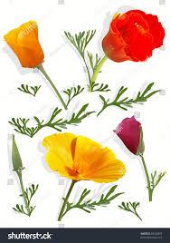 set california poppy flowers stock vector 83232802 shutterstock