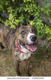 american pit bull terrier brindle brindle pit bull stock images royalty free images u0026 vectors
