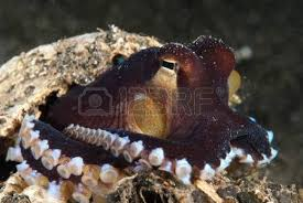 Seeking Octopus The View Of A Veined Octopus Seeking Protection In Shell Sulawesi