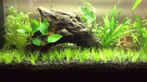 Plants For Aquascaping Aquascaping For Beginners Dwarf Hairgrass Youtube