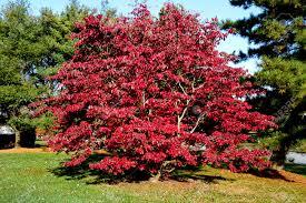 fall image of foliage turning on apple blossom tree stock
