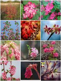 flowering native plants 50 natives washington state ribes sanguineum red flowering